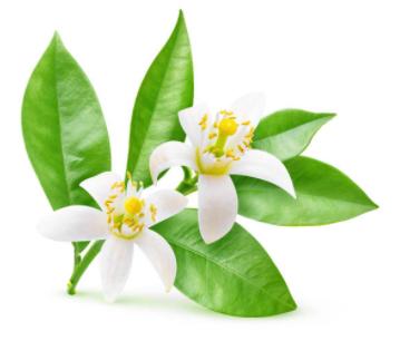 Hydrolat de fleur d'oranger contre la peau sèche