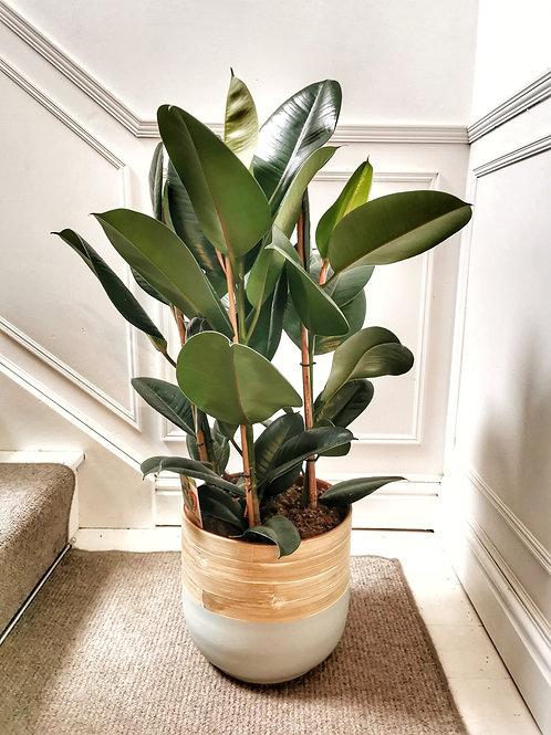 Ficus Elastica Robusta - XL