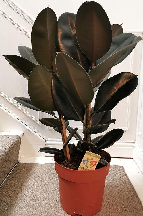 Ficus Elastica 'Abidjan' - XL