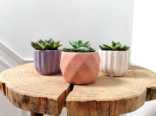 Small Succulent with Pot