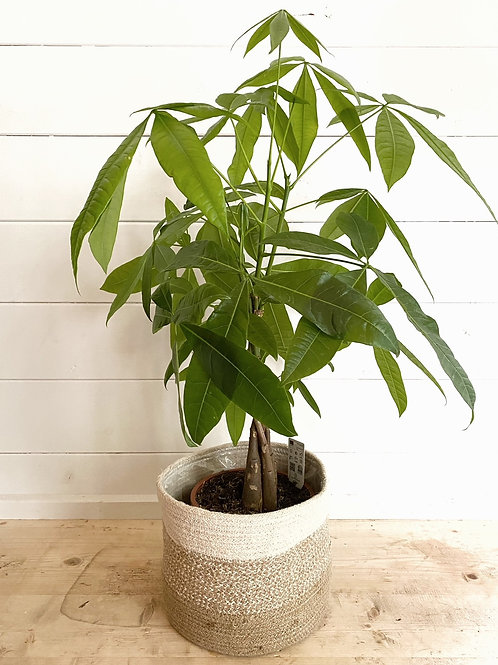 Pachira Aquatica - Money Tree