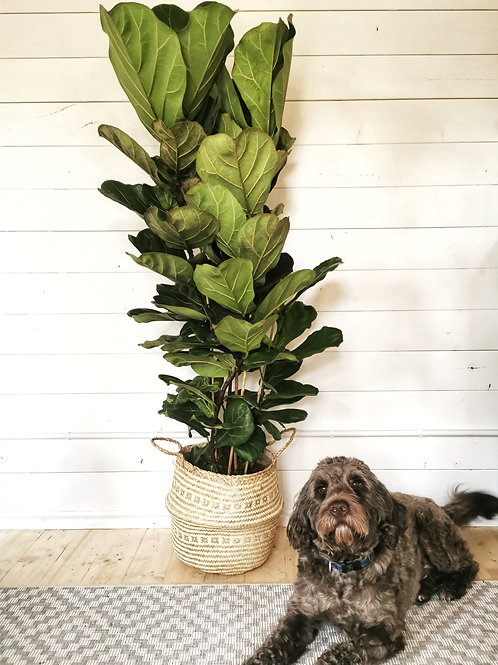 Fiddle Leaf Fig - XL