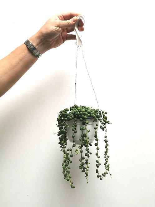 String of Beads - Senecio Herreianus