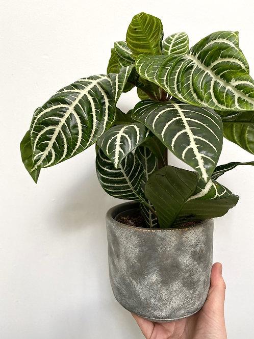 Tivoli Planter