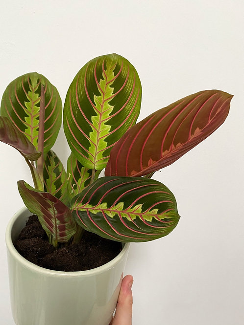 Prayer Plant - Maranta Leuconeura