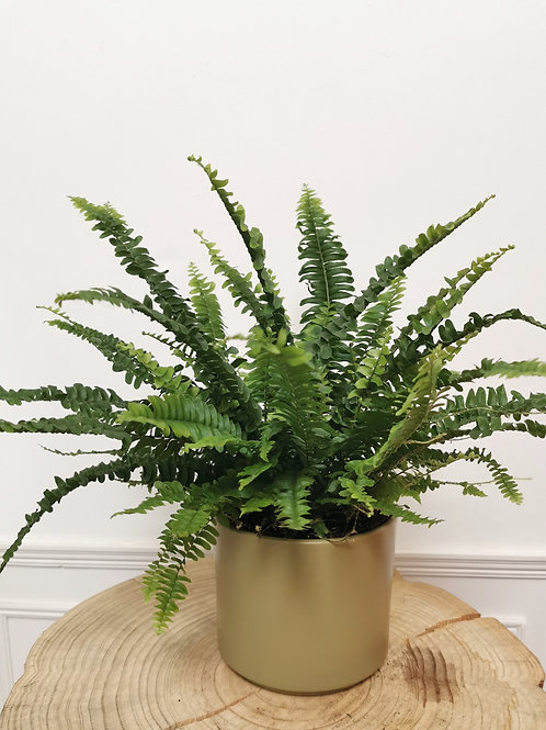 Boston Fern - Nephrolepsis Exaltata 'Green Lady'