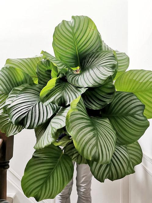 Calathea Orbifolia - XL