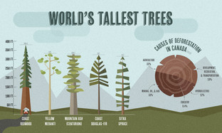 World's Tallest Trees Infographic