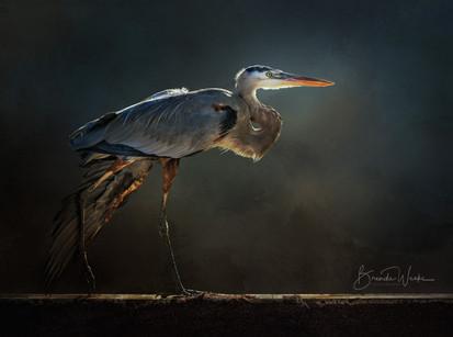 Great Blue Heron Stroll