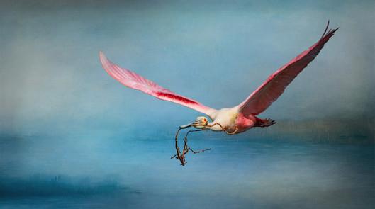 Rosetta Spoonbill Headed To Nest