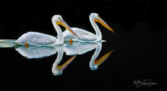 Pelican Duet