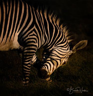 Zebra Itch