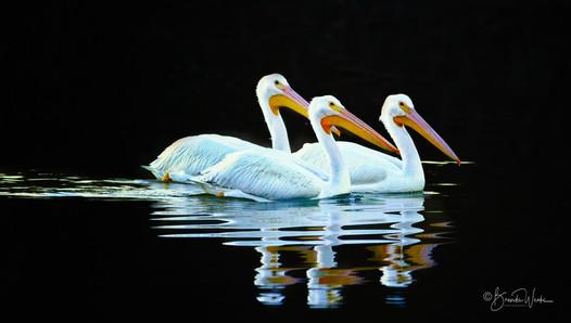 Tres Pelicans