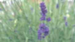 Lavendel_edited.jpg