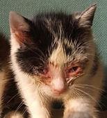 猫かぜ 猫伝染性鼻気管炎