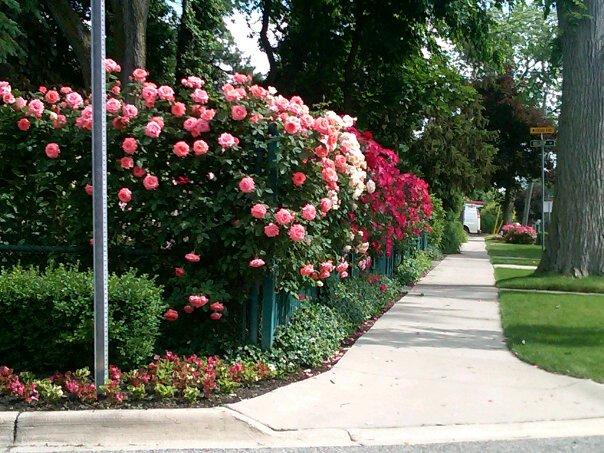 Roses in bloom on Birmingham street