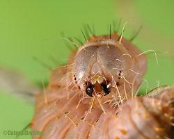 dagger moth acronicta afflicta caterpillar