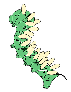 Tobacco hornworm caterpillar with braconid parasitoid cocoons