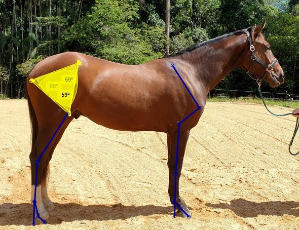 Equine Conformation Analysis