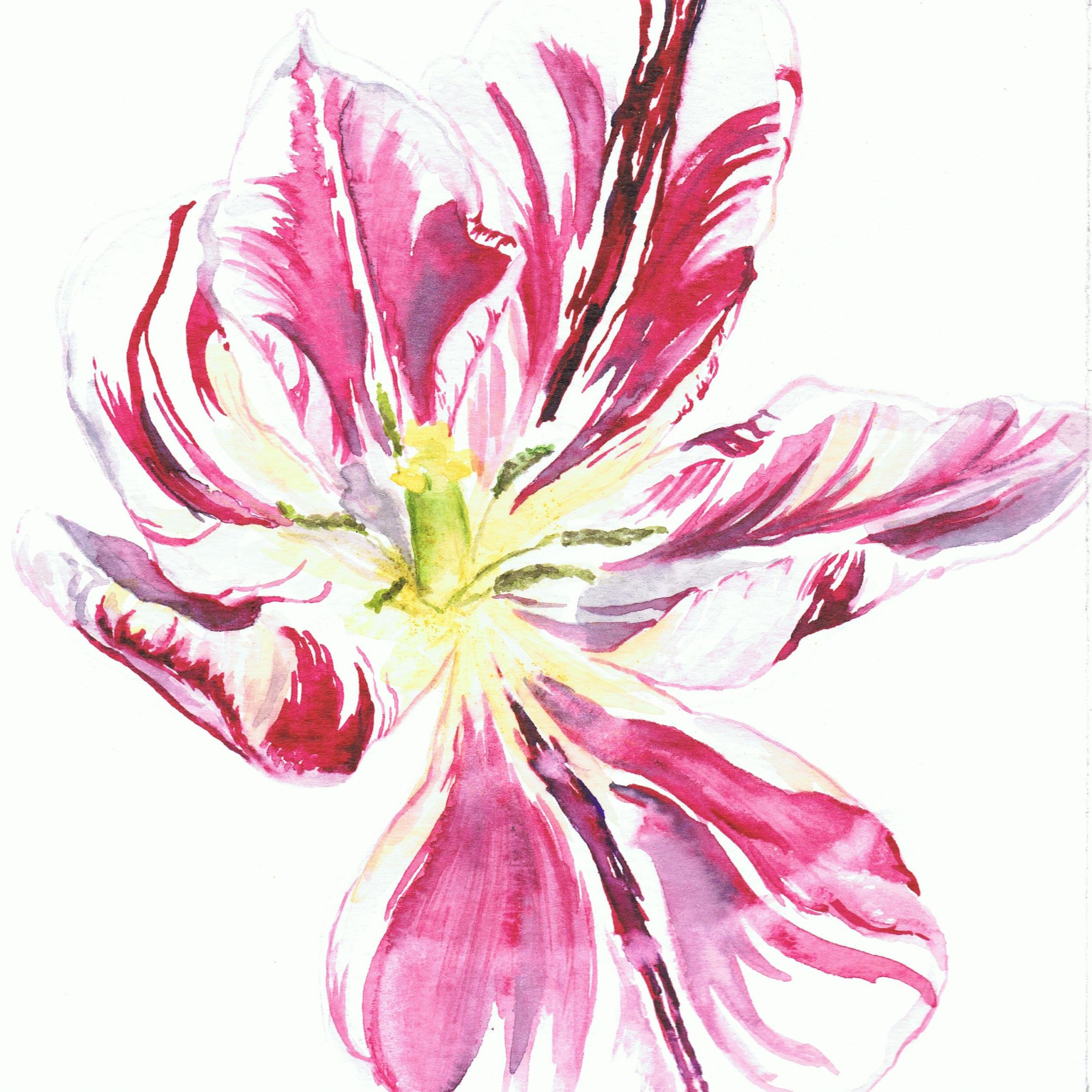 Striped Tulip II