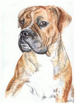 Watercolour portrait painting of a boxer dog.