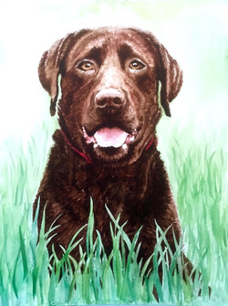 Watercolour portrait painting og a chocolate labrador sitting in grass.