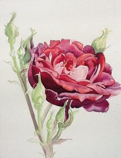 Helga's Rose