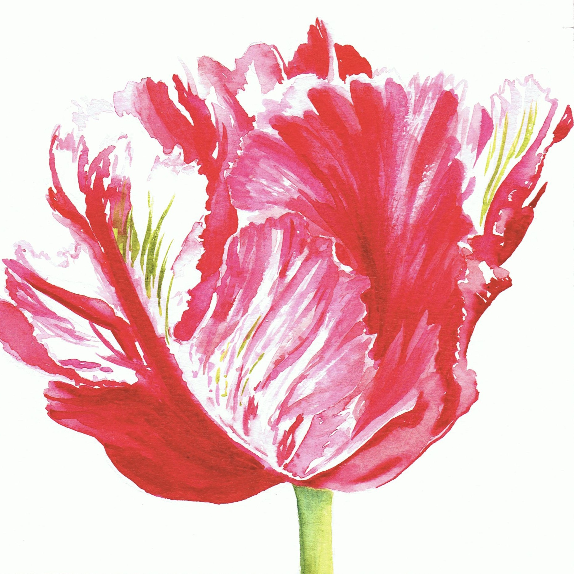 Shugborough Tulip 1