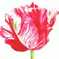 Shugborough Tulip 1