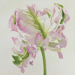 Frilled Pink Tulip