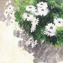 Daisy Shadows