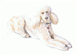Full body watercolour painting of a white poodle.