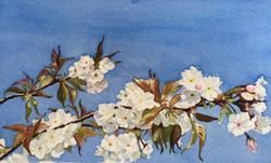 White Blossom, Blue Sky