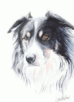 Watercolour portrait painting of a black and white sheep dog.