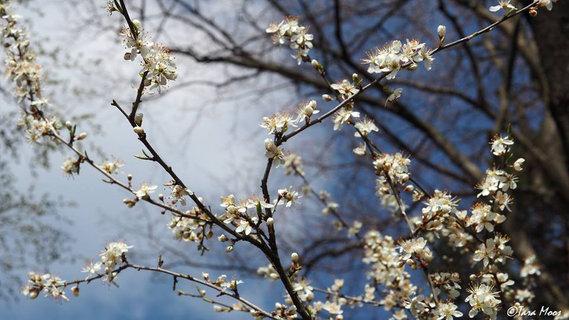 Schwarzdorn Blüten