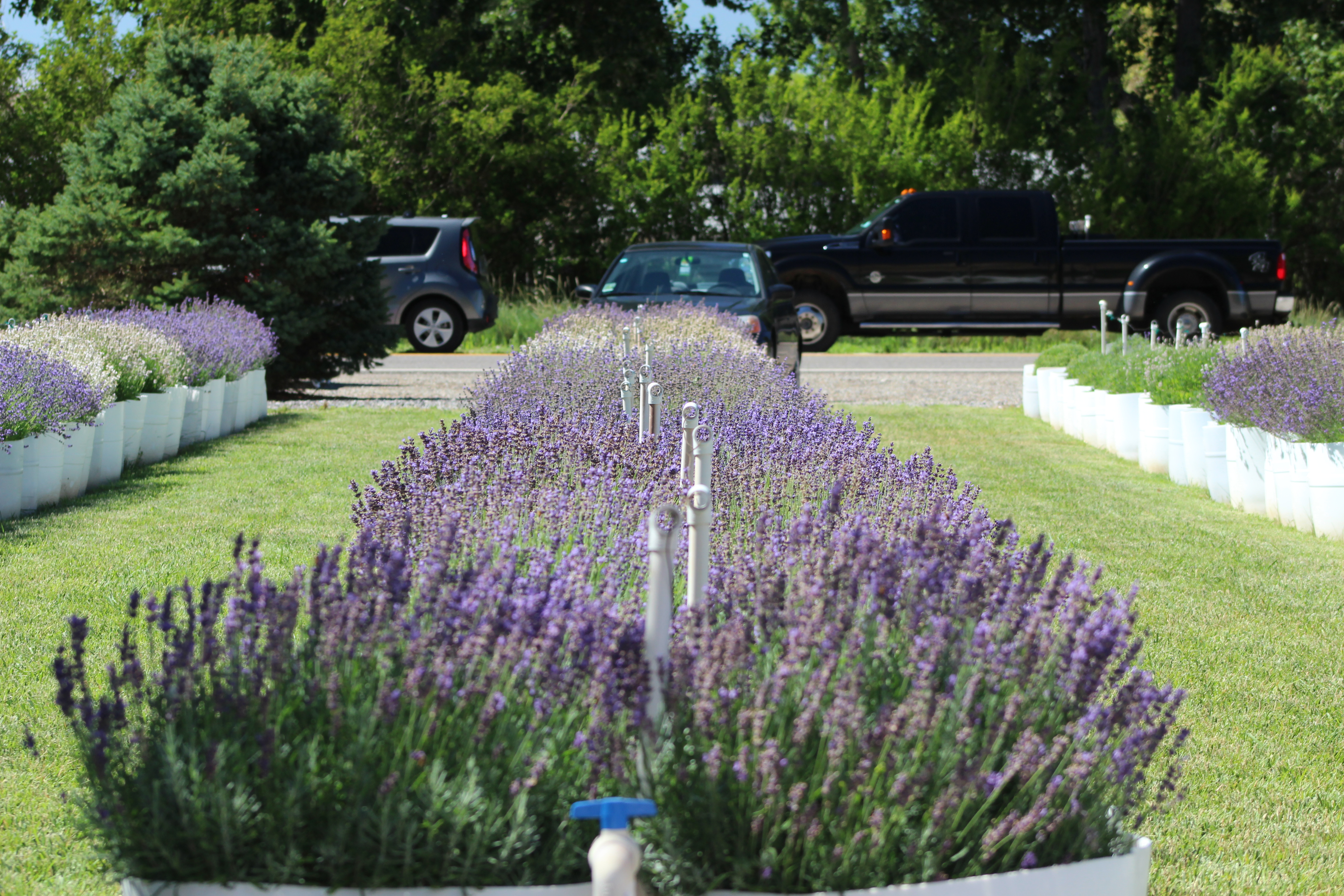 The white polls down the middle create the top of the tent when covering the lavender