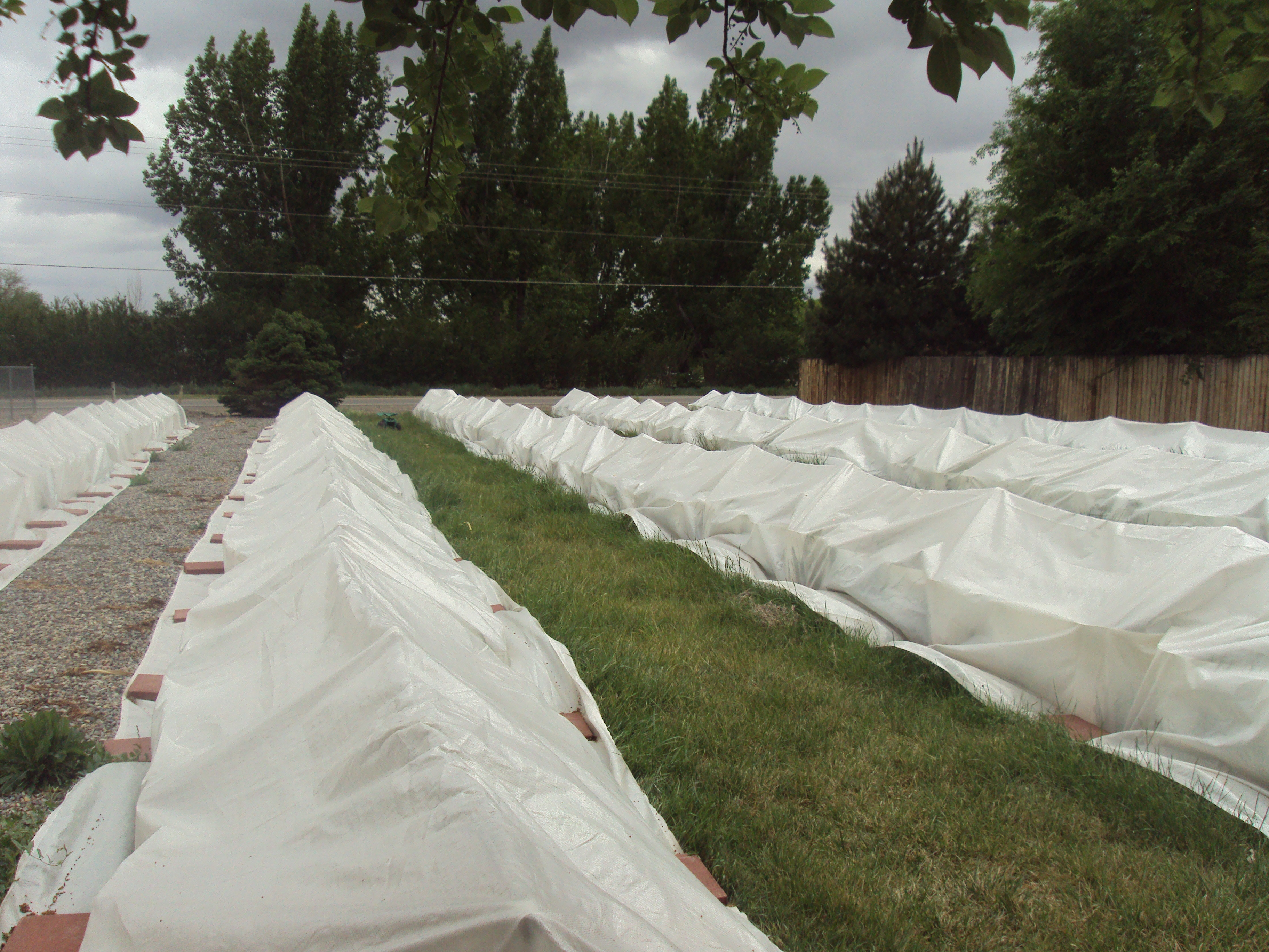 You can see how it tents over the lavender, we don't want the frost blankets to lay directly on top