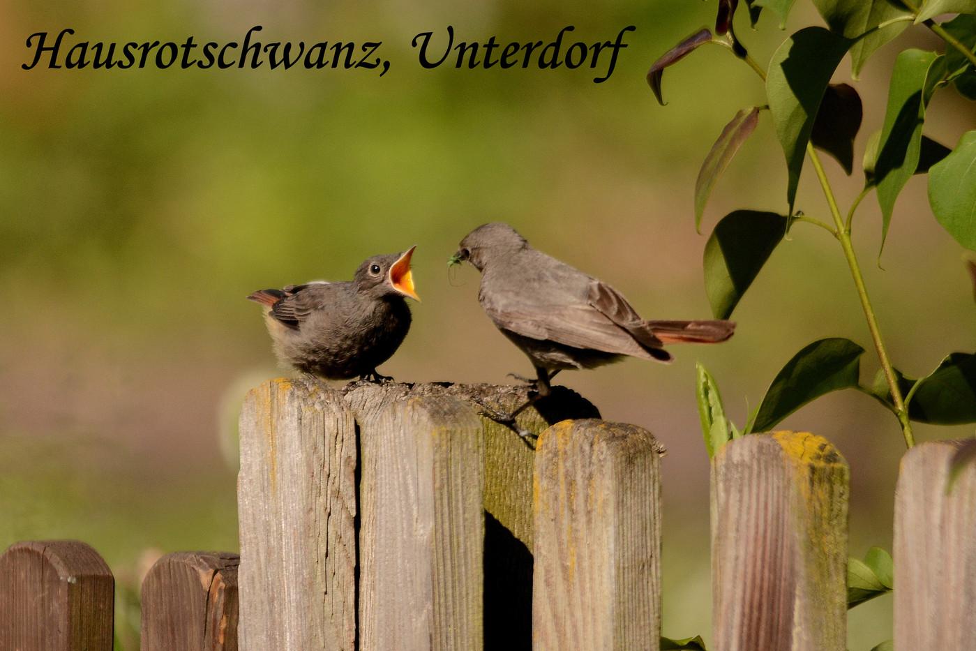 Hausrotschwanz, Unterdorf