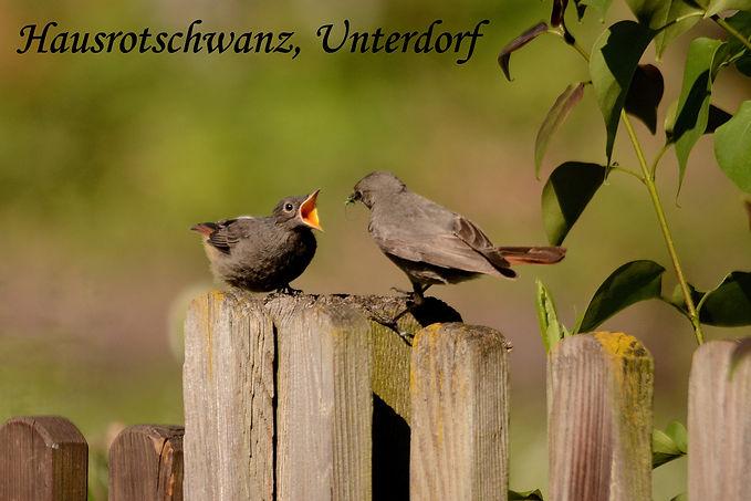 1. Hausrotschwanz, Unterdorf Kopie.jpg