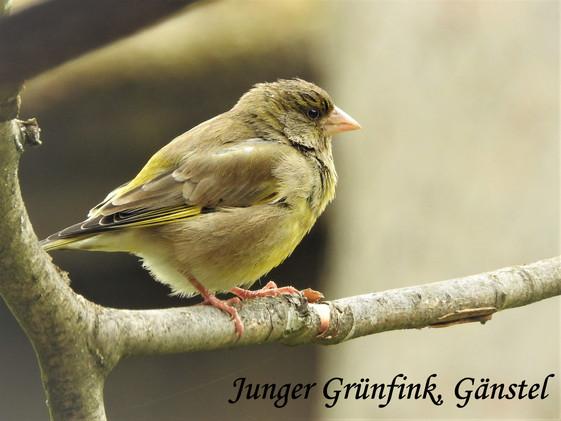Junger Grünfink, Gänstel