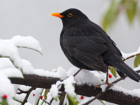 Wie meistern die Vögel Frost und Schnee?