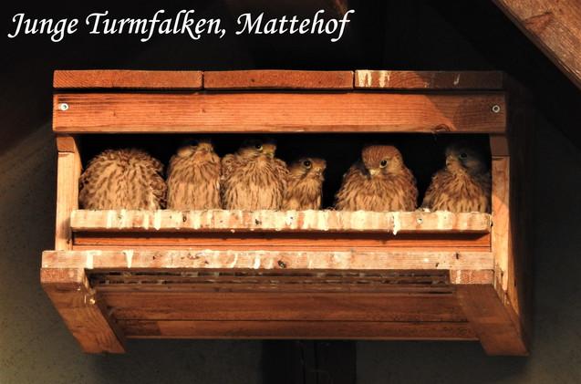 Junge Turmfalken, Mattehof