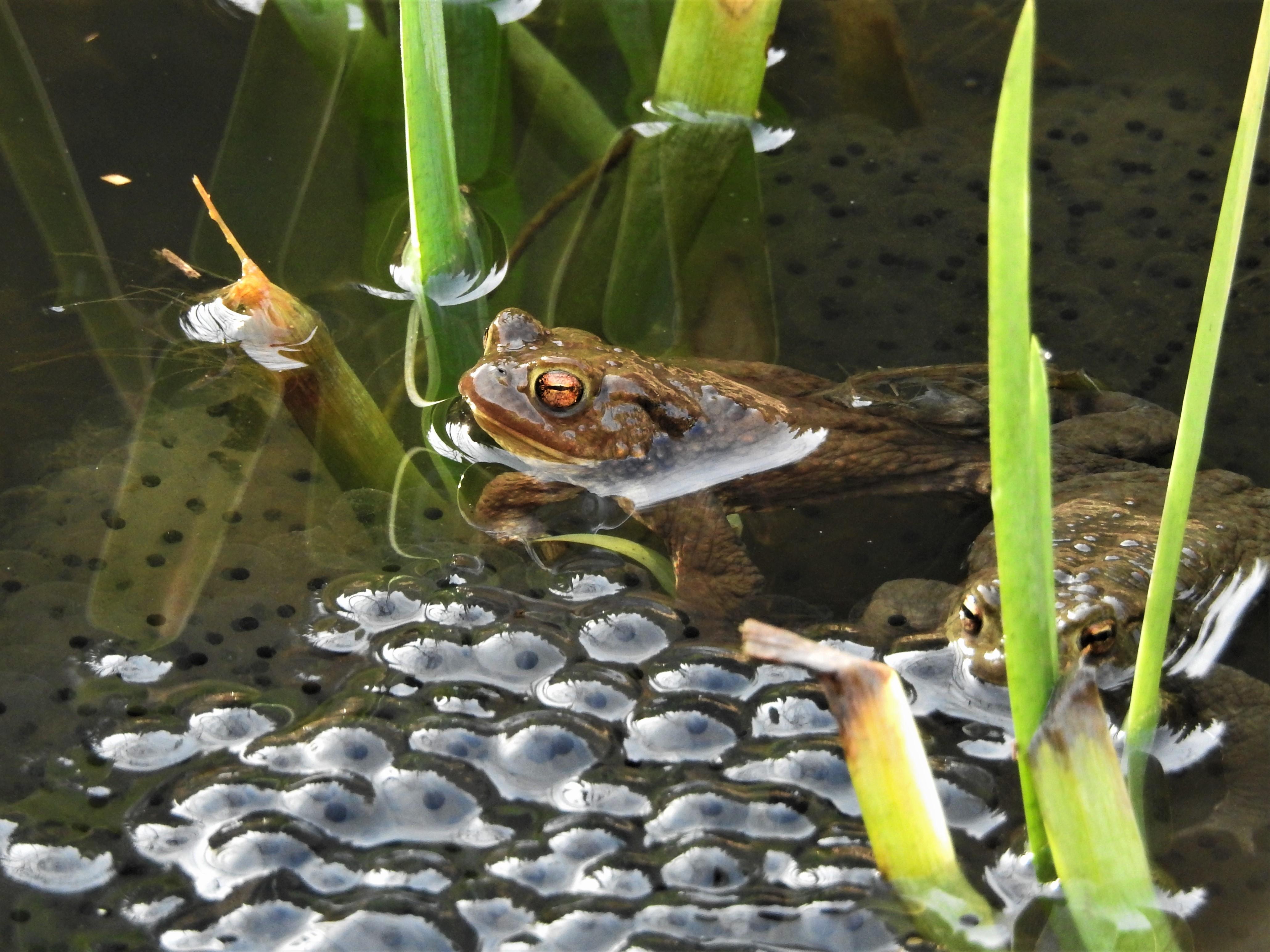 Erdkröte Pfendel