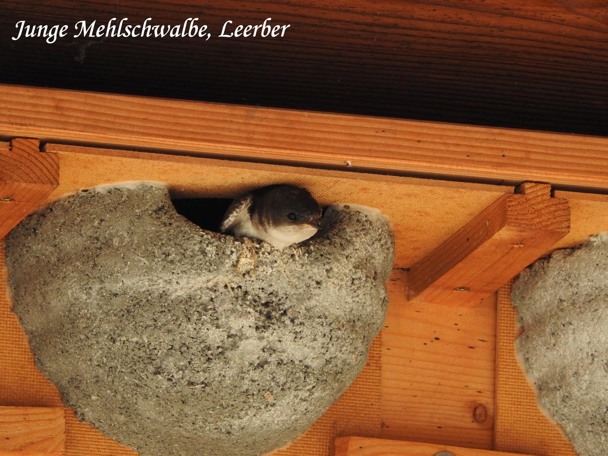 Junge Mehlschwalbe, Leerber