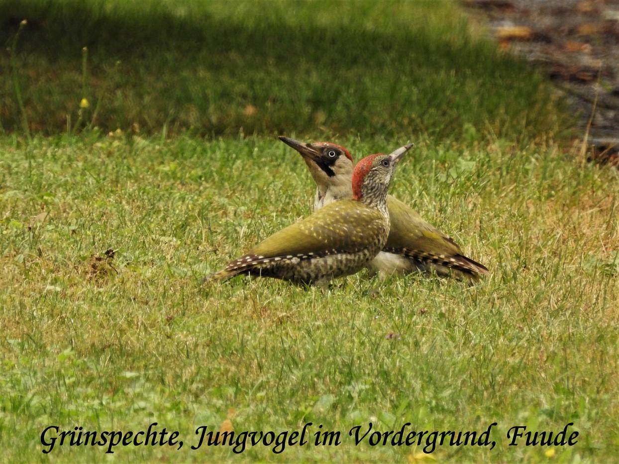 Grünspechte, Jungvogel im Vordergru