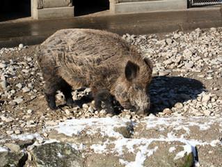 SRF - Beitrag zur Schweinepest