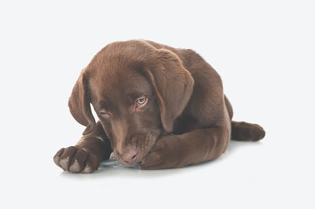 Lying%20Labrador%20puppy%20licking%20his%20paw%20isolated%20on%20white%20background_edited.jpg