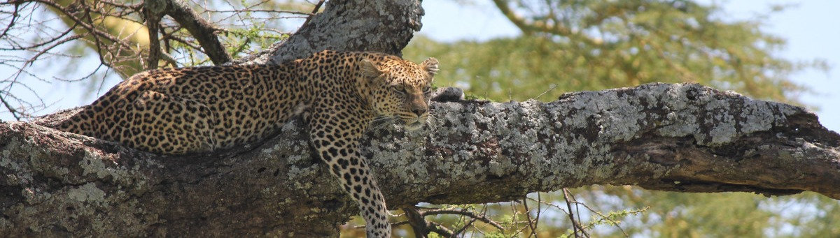 leopard on a tree trunk