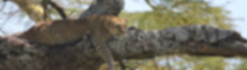 leopard on a tree trunk