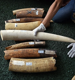ivory-thailand.webp